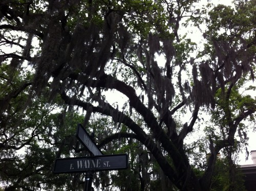 The beautiful Live Oaks with Spanish Moss