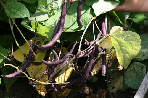Purple Bush Beans ready for dinner tonight