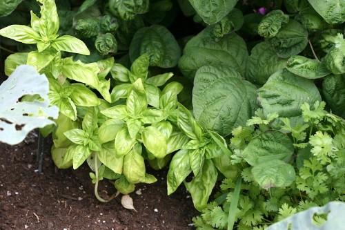 Herbs: Basil and Cilantro
